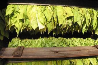 W dniu 15 maja 2019 r. upływa termin składania Informacji o produkcji i zbyciu surowca tytoniowego