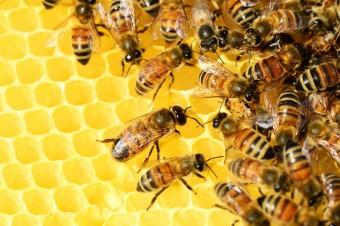 Ule w miastach mogą uratować populację pszczół