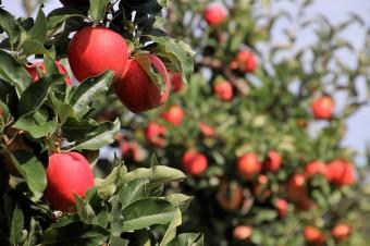Kolejny trudny sezon dla polskich sadowników