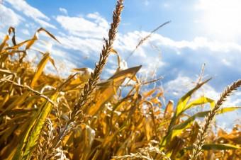 Trwa szacowanie strat po suszy