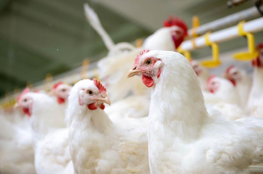 Chiński rynek szansą dla polskich producentów drobiu